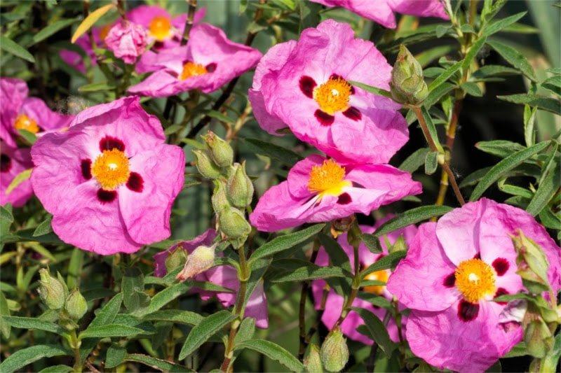 czystek kwiat800x533-min